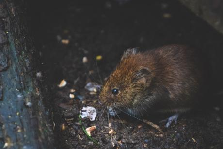 Kloakledninger i tilstandsrapporter som led i rottebekæmpelse